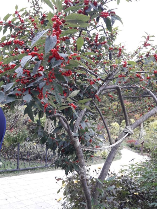 Сад утреннего спокойствия. Дальневосточное деревце Лимонник китайский